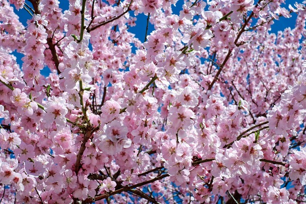 japanese-cherry-trees-桜