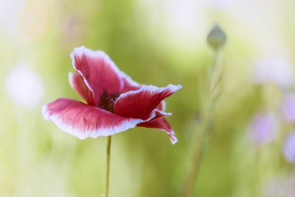 poppy-5325623_1920