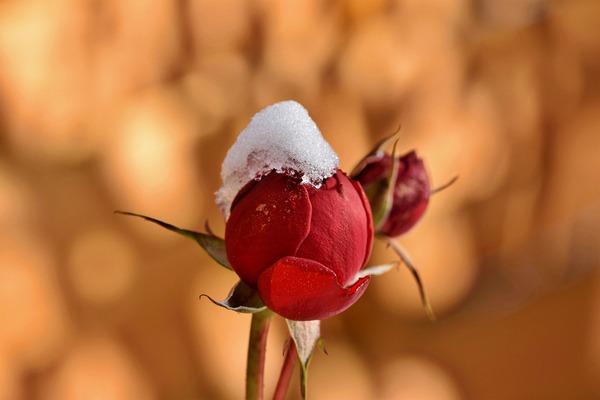 rosebud-6006985_1920