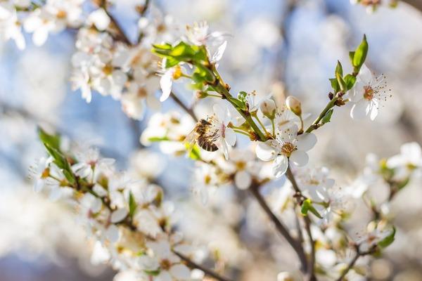 plum-blossom-6169571_1920