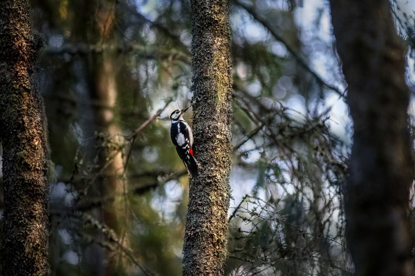 great-spotted-woodpecker-5677069_1920