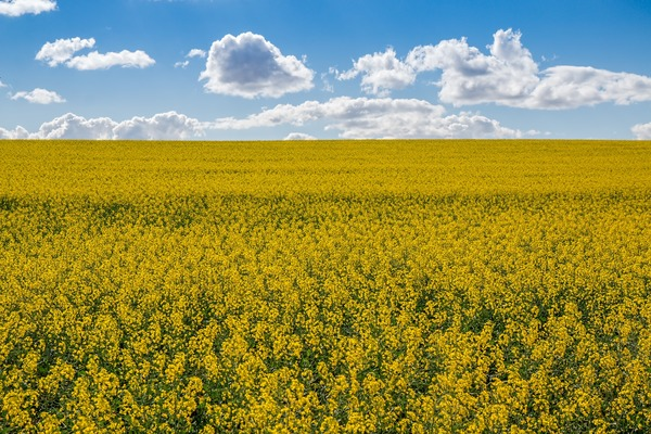 canola-fields-4107158_1920