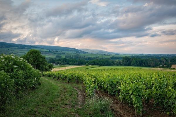vineyard-6399505_1920