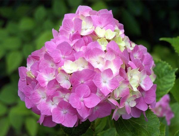 garden-hydrangea-5320844_1920