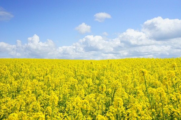 field-of-rapeseeds-474558_1920