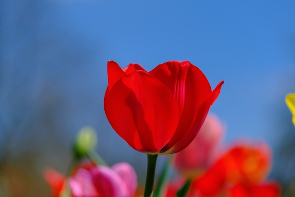 tulip-4812294_1920