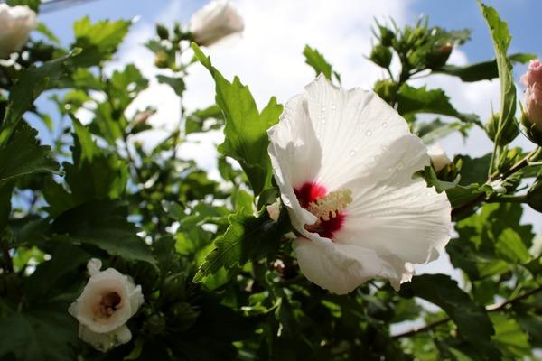 rose-of-sharon-3561513_1920