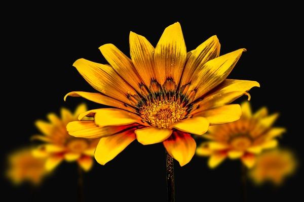 flower-gerbel-3720383_1920