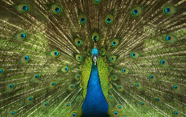 peacock-4746848_1920