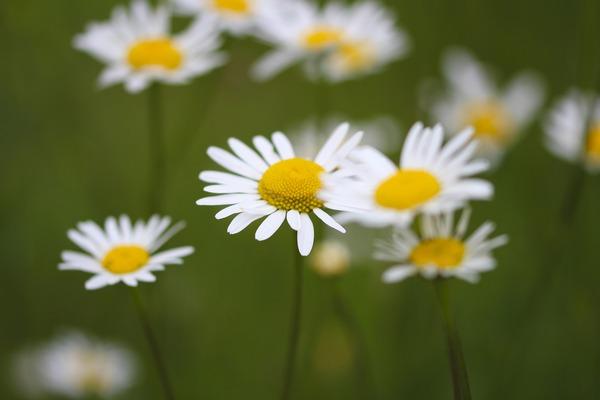 daisies-g3c432a4e4_1920
