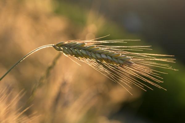barley-5399915_1920