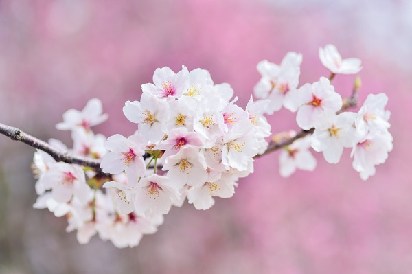 cherry-blossoms-2218781_1920