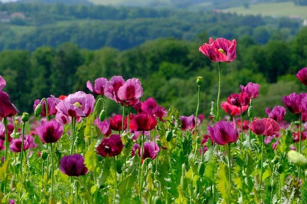 poppy-5204043_1920