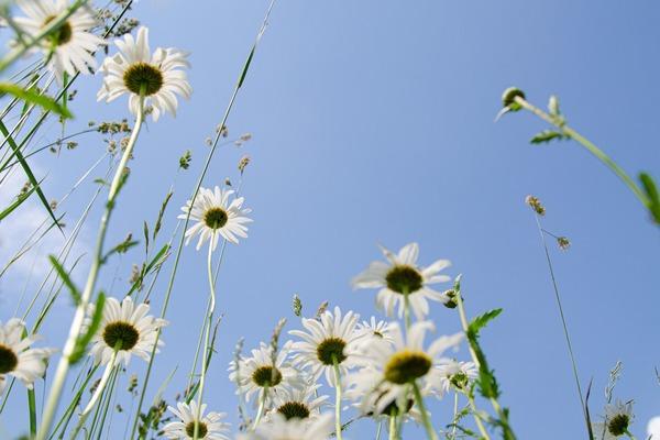 daisies-5343423_1920