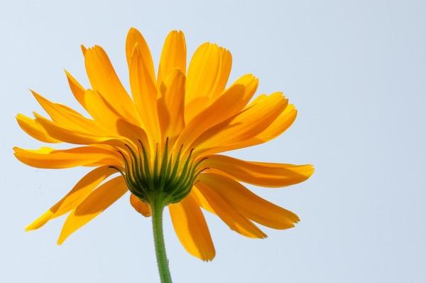marigold-5582848_1920