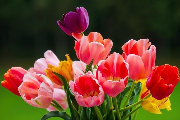 tulips-5361990_1920