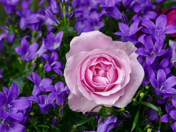 rose-3352891_1920