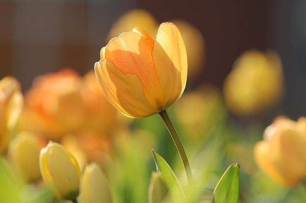 tulip-690320_1920