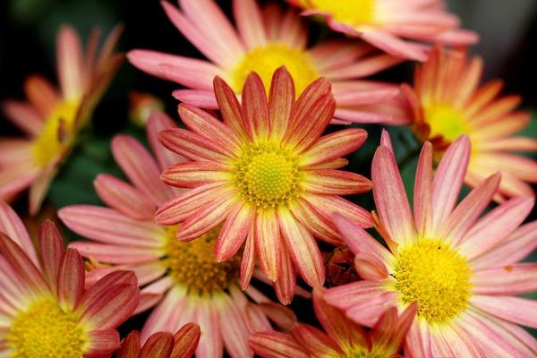 chrysanthemums-5698303_1920