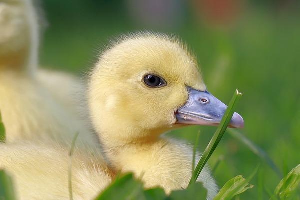 duckling-g4ab853407_1920