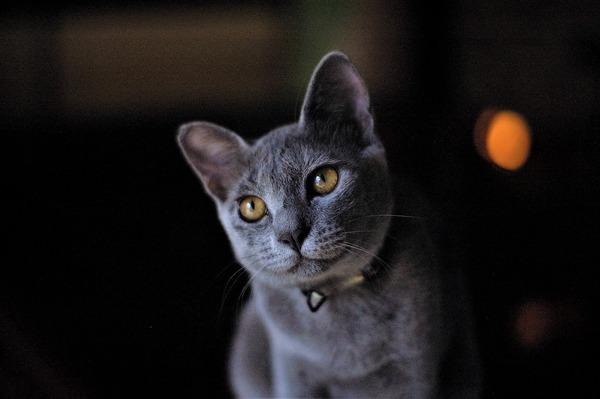 russian-blue-cat-gbf5daa8b4_1920