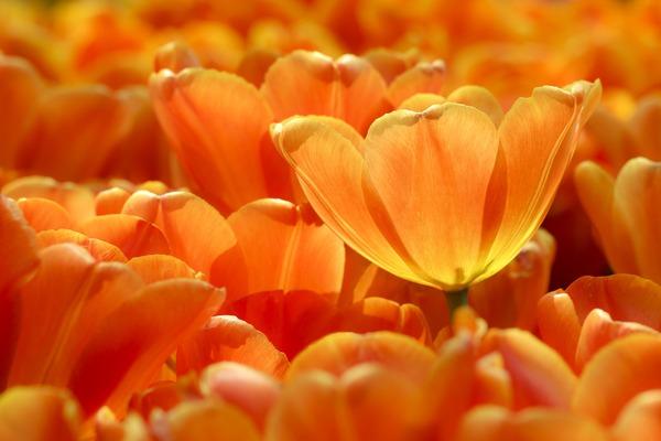 tulips-5902188_1920