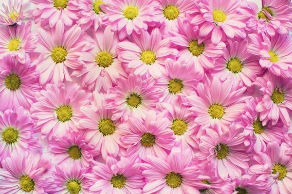 pink-daisies-2121591_1920
