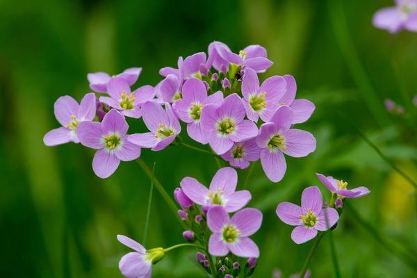 cuckoo-flower-3329810_1920