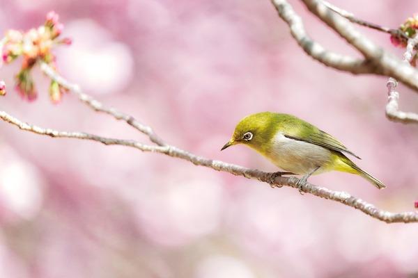 japanese-white-eye-6178082_1920
