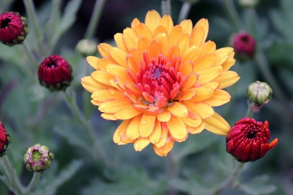 chrysanthemums-4609628_1920