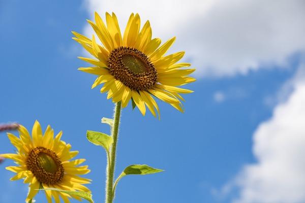 sunflowers-6515860_1920