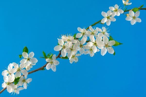 cherry-blossoms-6196363_1920