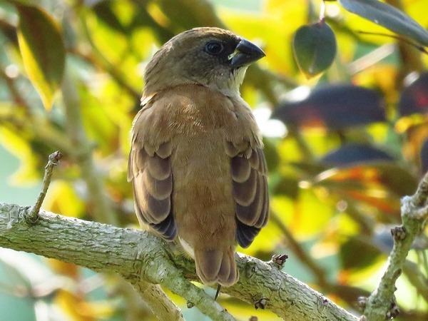 ashy-crowned-sparrow-lark-2432908_1920