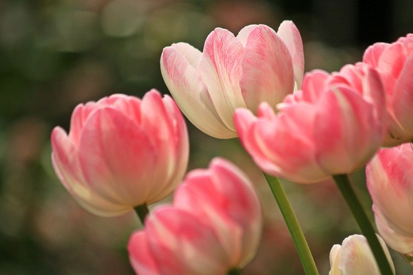 tulips-1134103_1920