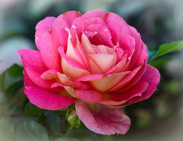 rose-3788968_1920