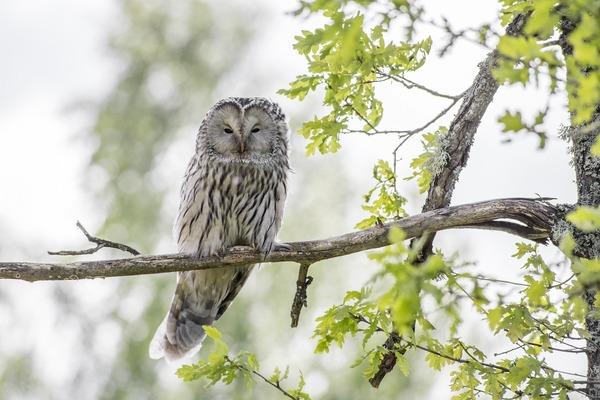 ural-owl-4808774_1920