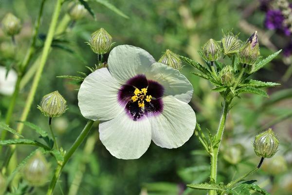 hibiscus-4709799_1920