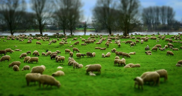 sheep-1305432_1920