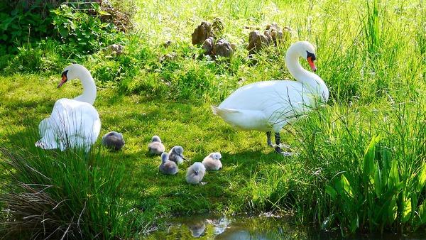 swans-2378286_1920
