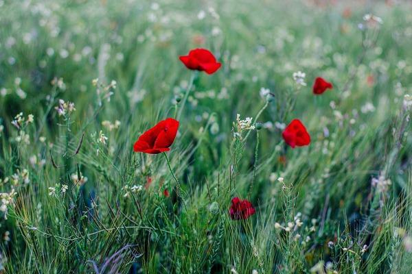 poppy-6147973_1920