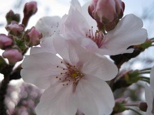 09年3月20日撮影 大村公園の桜
