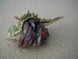ランカウイの浜辺のヤドカリ