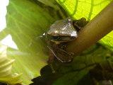 蓮の茎で雨宿りする蛙