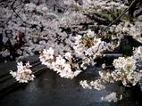 京都高瀬川の桜