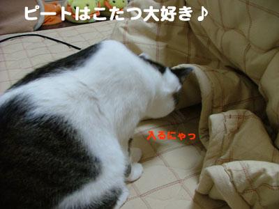 こたつと猫1