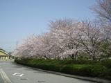 桜2005-1