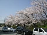 桜2005-2