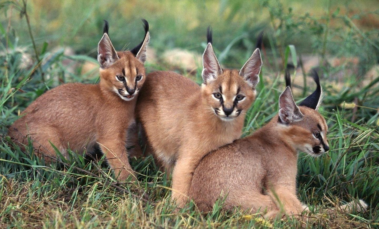 CACHORROS-DE-CARACAL 【猫画像33枚】カラカルが可愛いすぎてヤバイww...