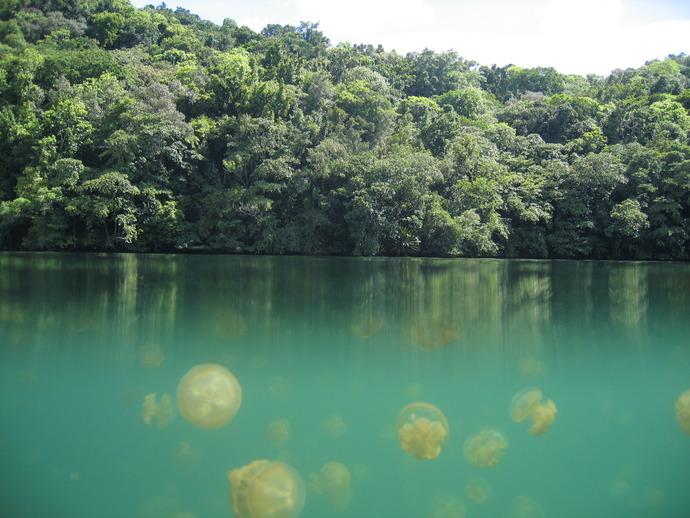 Jellyfish_Lake_Palau
