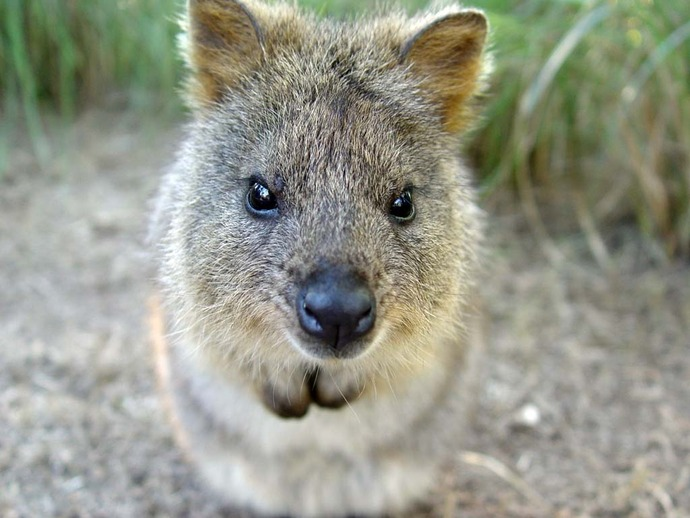 Quokka_by_RYAFACAN